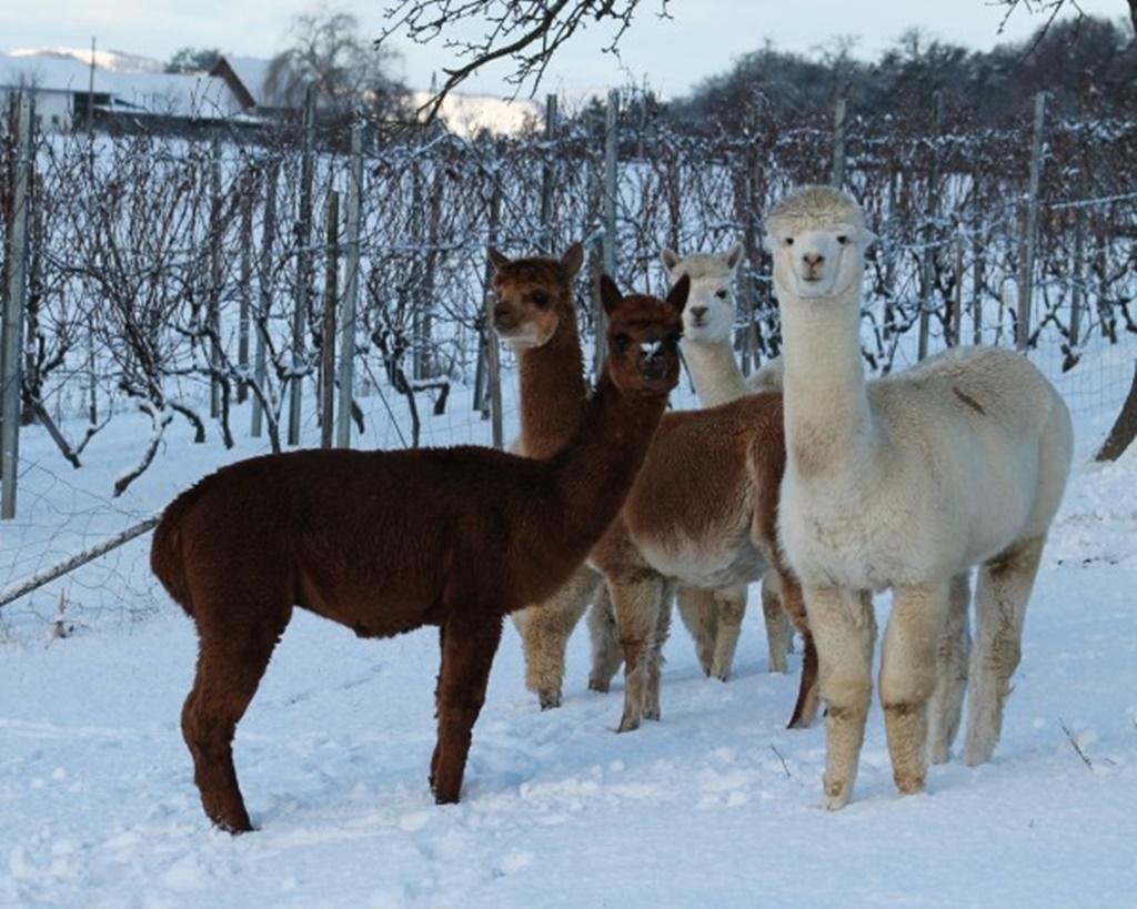 Alpakas-Familie Gemüsehof Radl