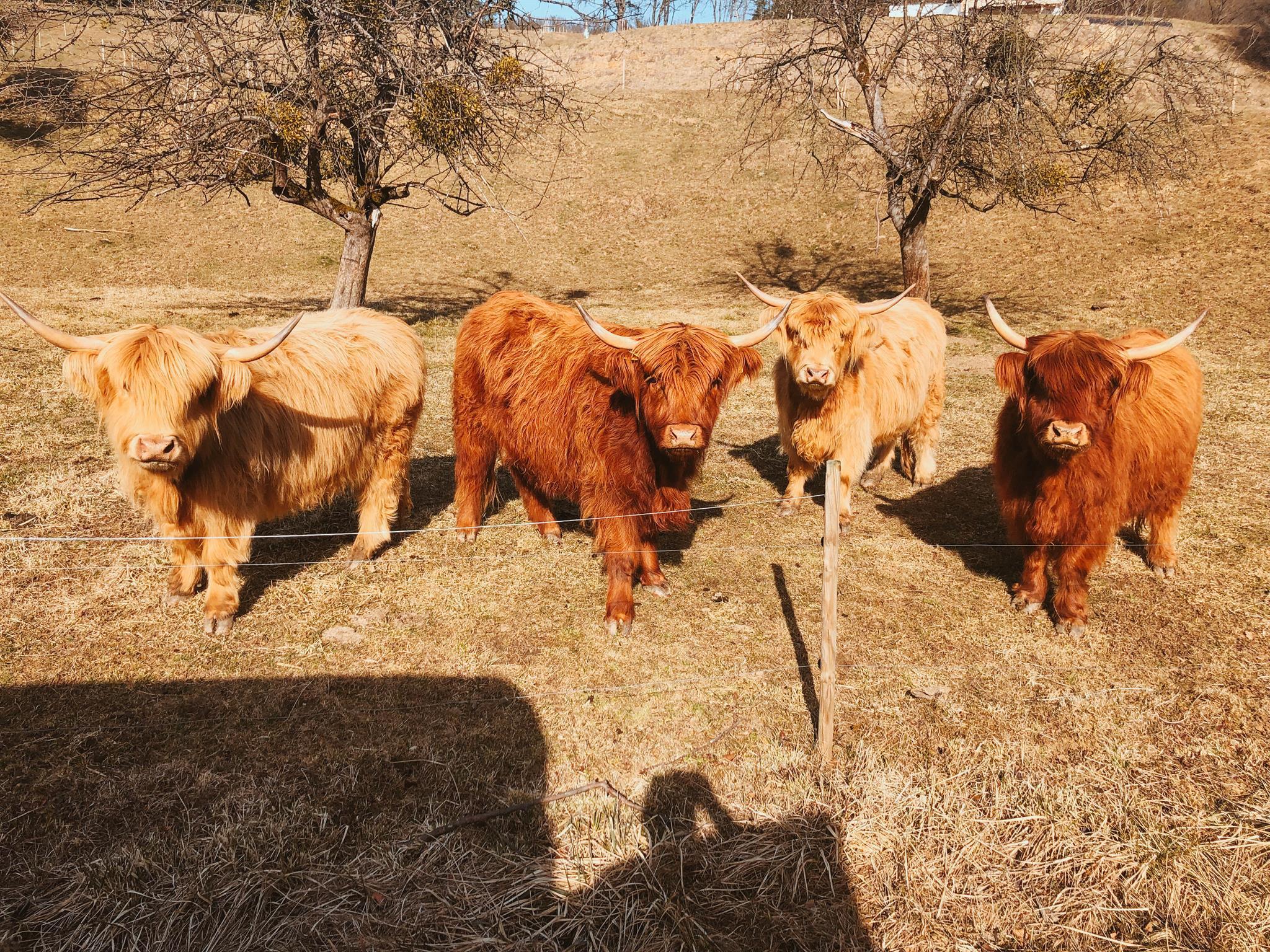 Kühe Familie Kropf
