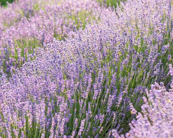 Lavendelblüte@Wilinger