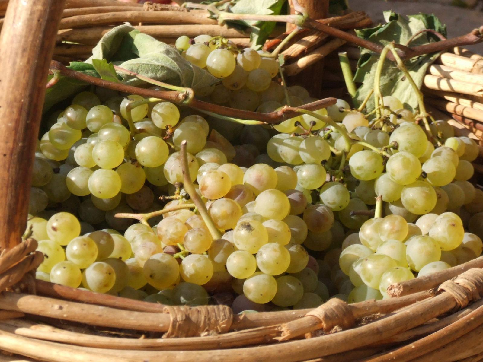 Festa dell'uva 1 of 1